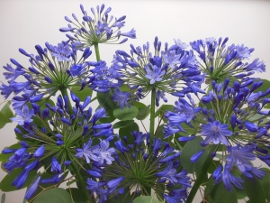 sample arrangement with Agapanthus