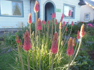 picture of kniphofia