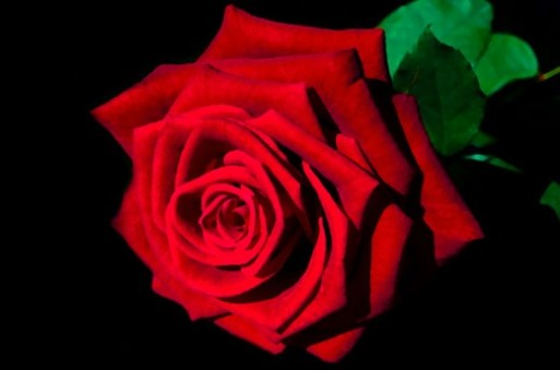 picture of Red Rose