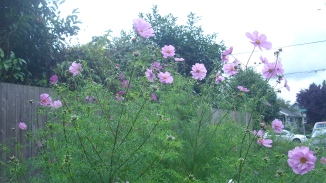 picture of pink cosmos