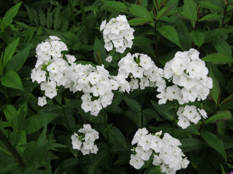 picture of phlox