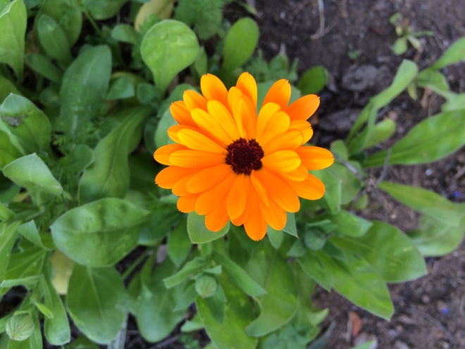 picture of Calendula