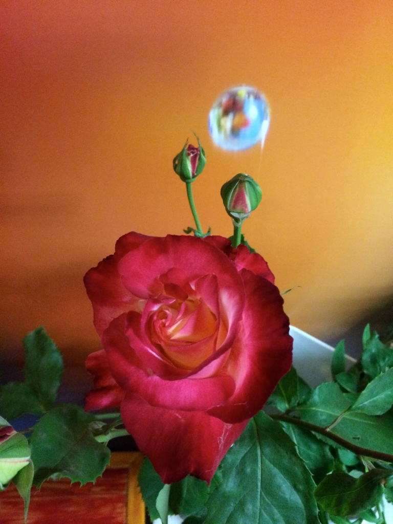 picture of Rose Double Delight
