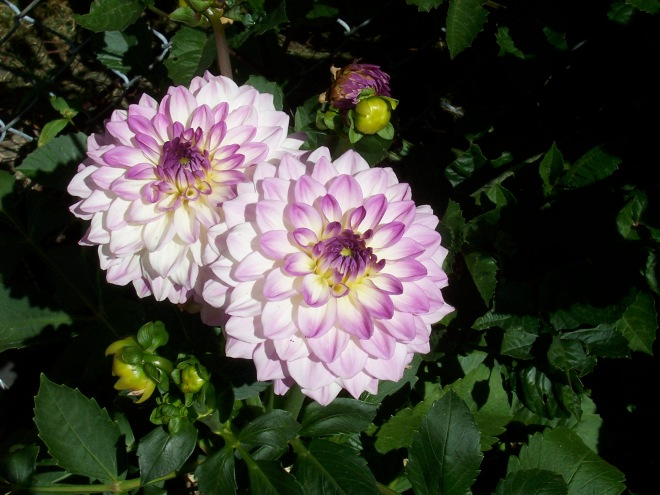 picture of purple dahlias