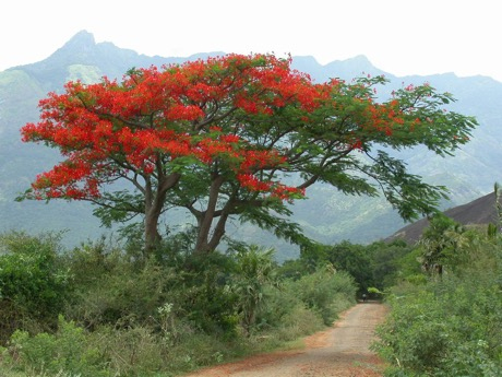 Plantscapers-Poinsettia-tree-in-Mexico