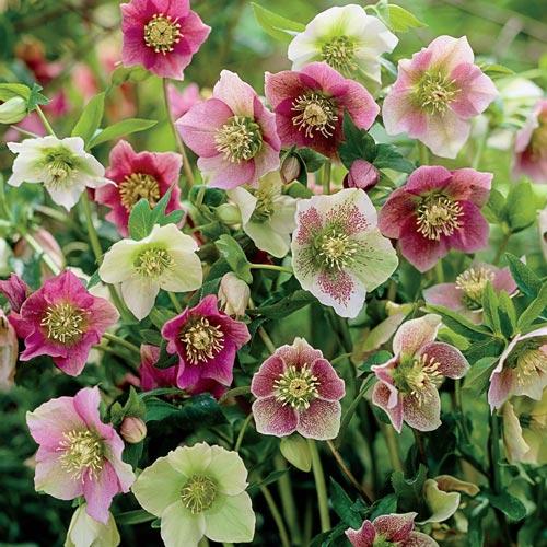 Hellebore A Winter Flowering Plant Petal Passion