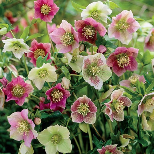 picture of Helleborus