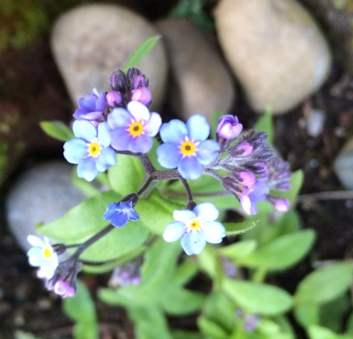 Forget me nots petal passion picture of forget me not ccuart Image collections