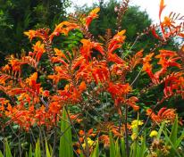 picture of Crocosmia