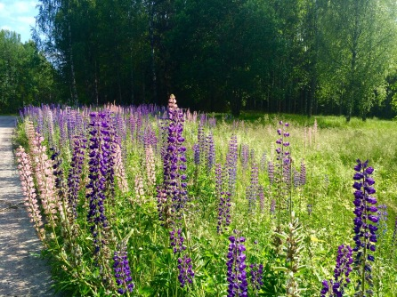 picture if Lupines