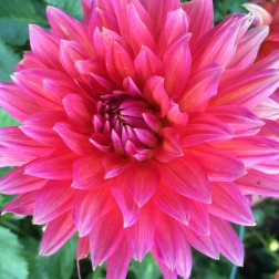 picture of Dahlia Fire Magic