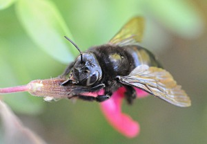 picture of nectar robbing carpenter bee.