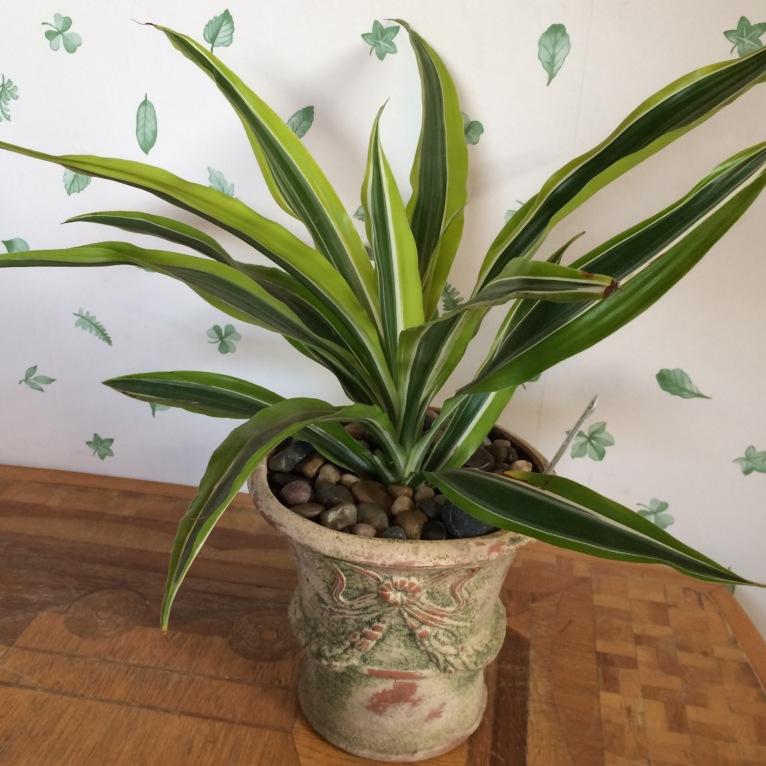 Dracaenea in weathered pot