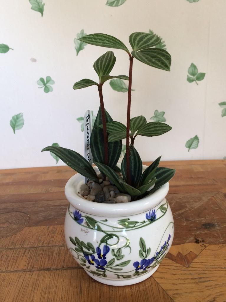 Peperonia in ceramic pot