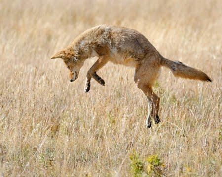 blog-new-xx-coyote-lepping_dsc3488