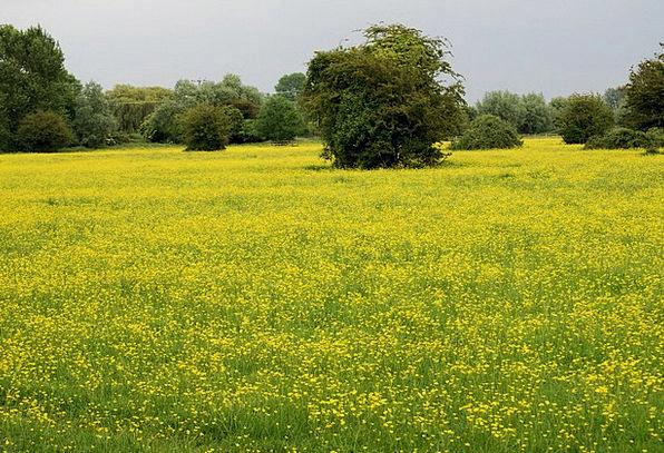 buttercup-meadow-ranunculus-yellow-wild-free-image-8231