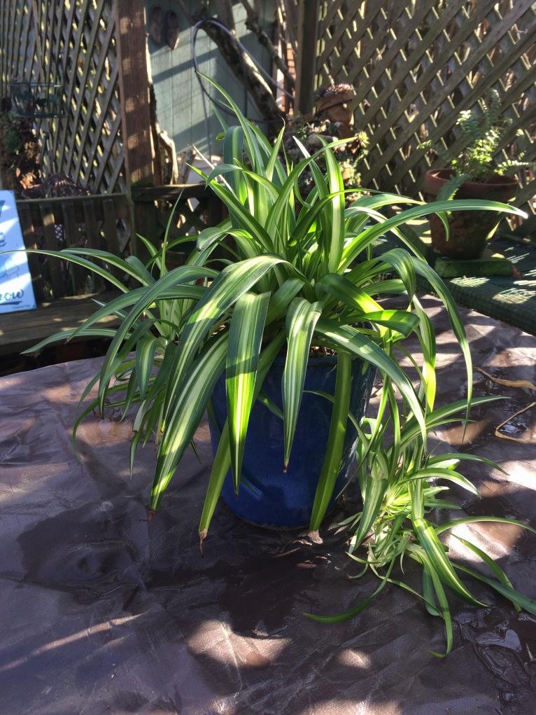 Spider-plant in blue ceramic pot.
