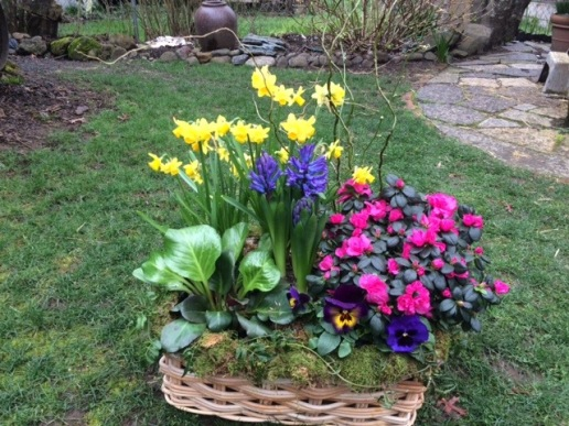 Spring planting with home grown Daffodils